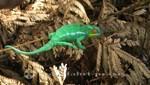 Madagaskar - Nosy Be - Panther-Chamäleon im Lokobe Reservat