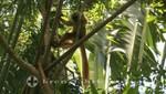 Madagaskar - Nosy Be - Lemur im Lokobe Reservat