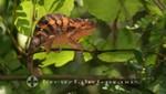 Madagaskar - Nosy Be - Chamäleon im Lokobe Reservat
