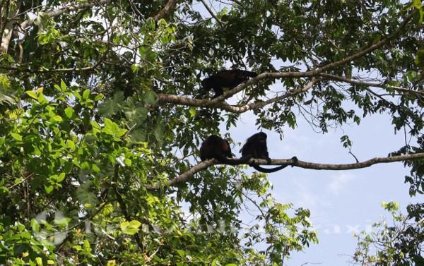 Brüllaffen im Cahuita Nationalpark