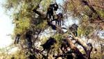 Ziegen auf Arganbäumen