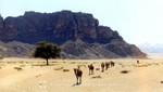 Dromedare im Wadi Rum