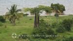 Madagaskar - Zwei kleine Baobab-Bäume bei Antsiranana