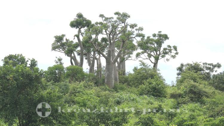 Madagaskar - Baumgruppe vor dem Montagne des Francais-Reservat