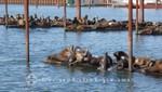 Massen von Seelöwen