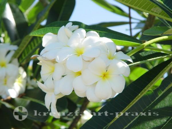 Barbados - Frangipani