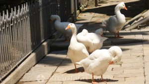 Barcelona - Cathedral - the geese of St. Eulalia