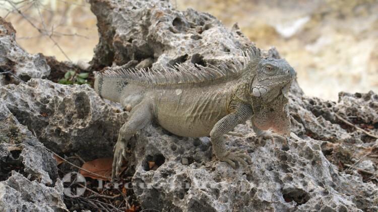 Bonaire - Leguan auf Kalksteinformation