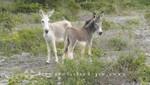 Bonaire - Wilde Esel