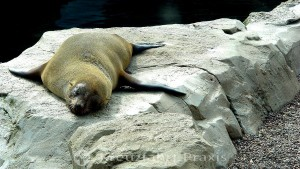 Resident of the zoo by the sea - a fur seal