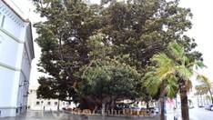Ficus-Baum Árbol de Mora