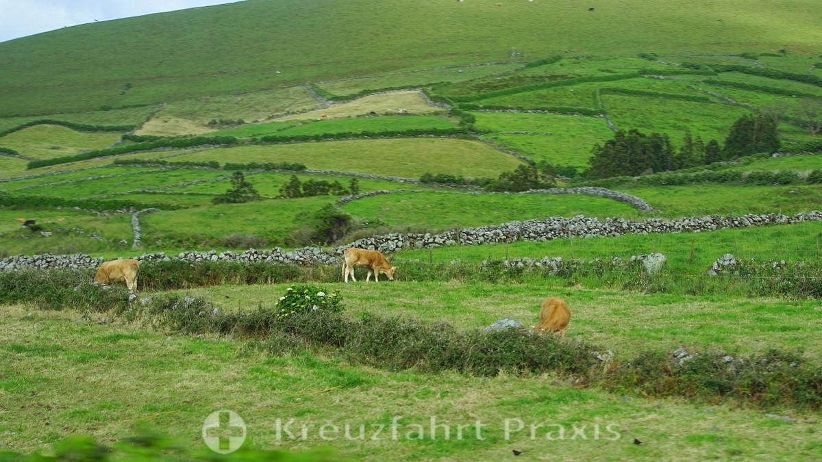 Cattle on Corvo