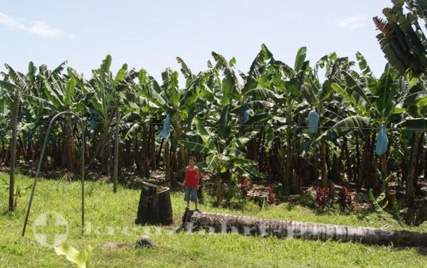 Costa Rica - Bananenplantage