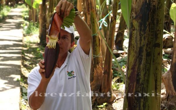 Costa Rica - Bananenblüte