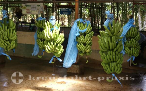 Costa Rica - Bananen Waschstation