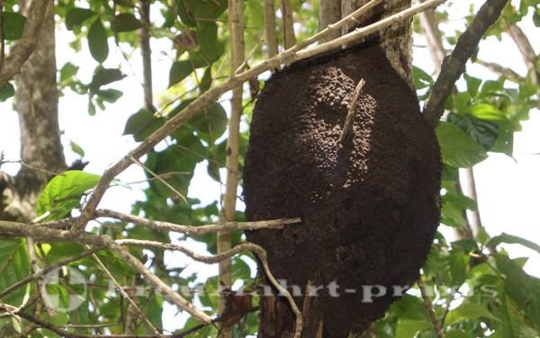 Costa Rica - Termitenbau