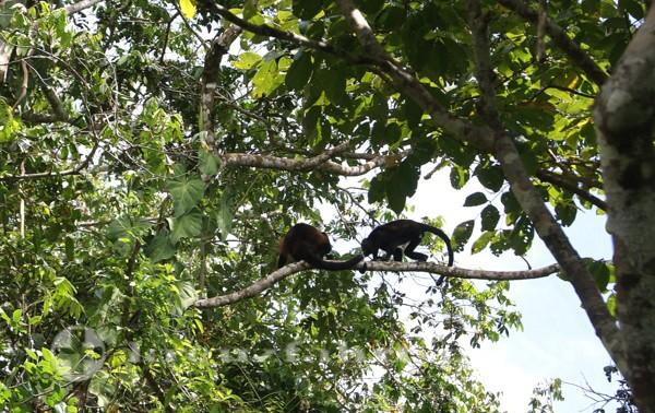 Costa Rica - Brüllaffen