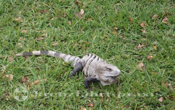 Cozumel - Schwarzer Leguan