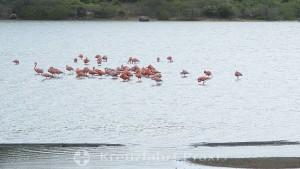 Piscaderabaai - Flamingo-Habitat Saliña Sint Michiel