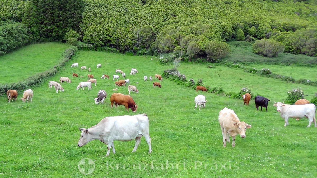 Cattle in front of hydrangea hedges