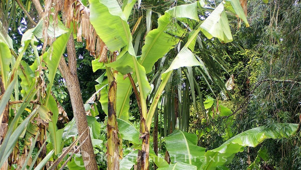 Falmouth - Bananenstauden gedeihen in Cornwalls Klima