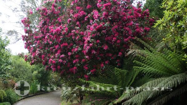 Rhododendronbaum in Fox Rosehill Gardens