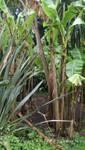Bananenstaude in Fox Rosehill Gardens