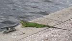 Fort Lauderdale - Ein Iguana - Bewohner des Riverwalk