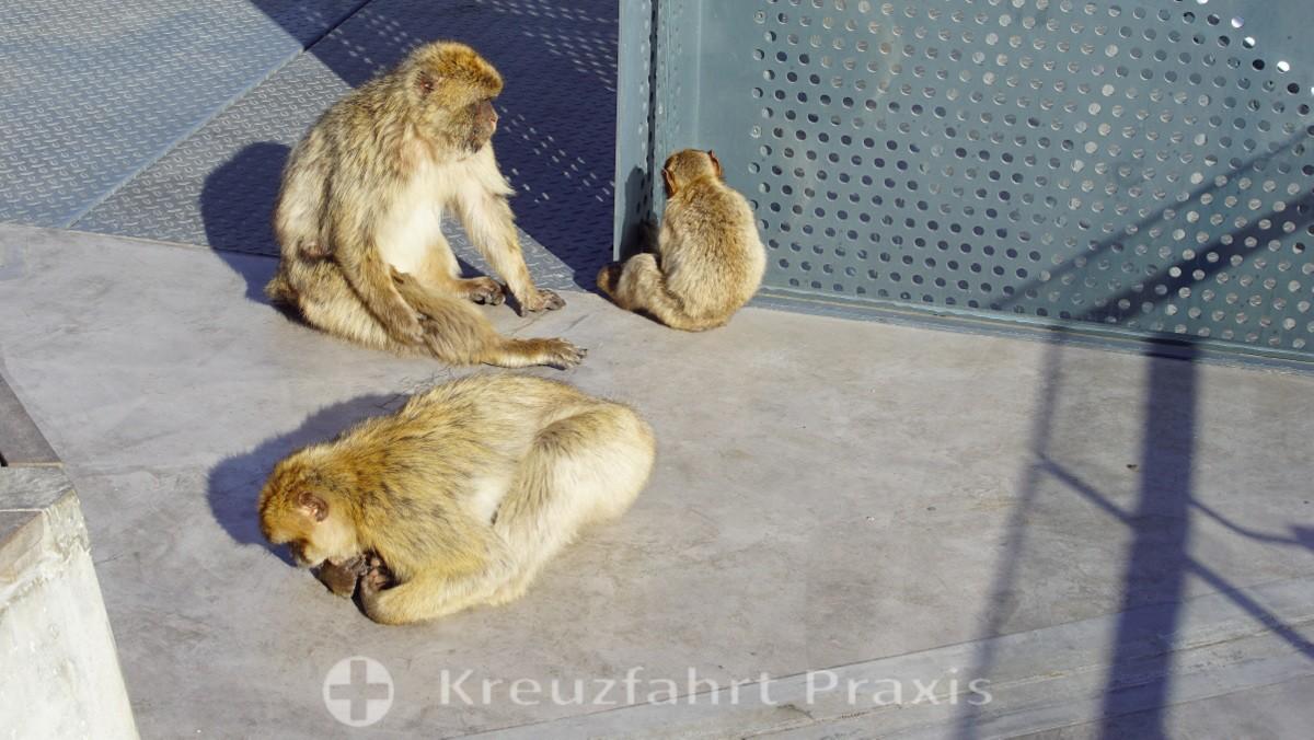Monkeys enjoy perpetual residence in Gibraltar