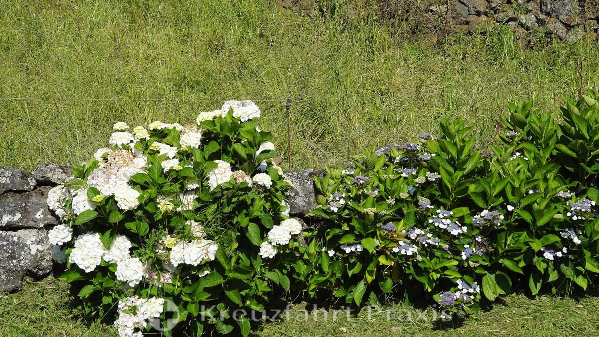 Graciosa - flowers along the way