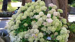 Candie Gardens - Hortensie