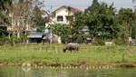 Wasserbüffel am Fluss