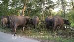 Wasserbüffel neben der Straße