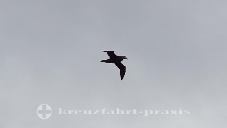 Albatros über Kap Hoorn