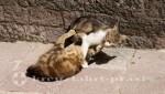 Kotors Katzen