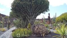 Riesenkakteen im Jardín de Cactus