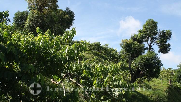 Madagaskar - Nosy Be - Ylang-Ylang-Pflanzungen