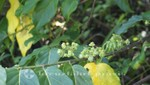 Madagaskar - Ylang-Ylang Blüten