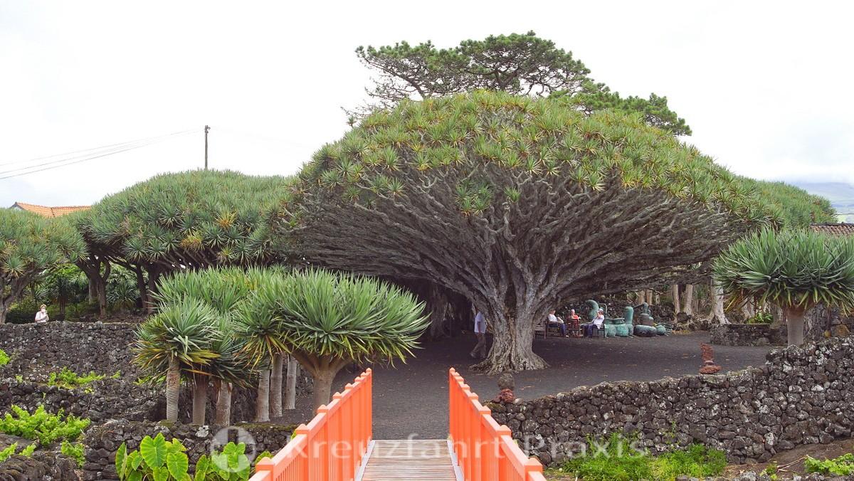 Dragon trees in the Museu do Vinho do Pico