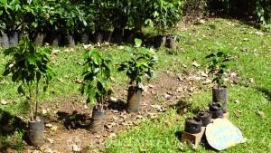 Espíritu Santo - Setzlinge der Kaffeepflanzen