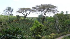 Espíritu Santo - Hang mit Kaffeepflanzen und Schattenspendern