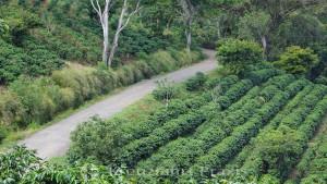 Espíritu Santo - Kaffeepflanzen