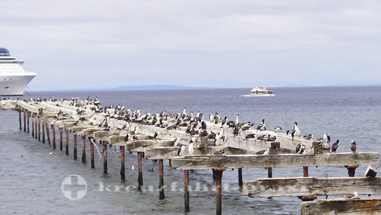 Kolonie der Magellan-Kormorane