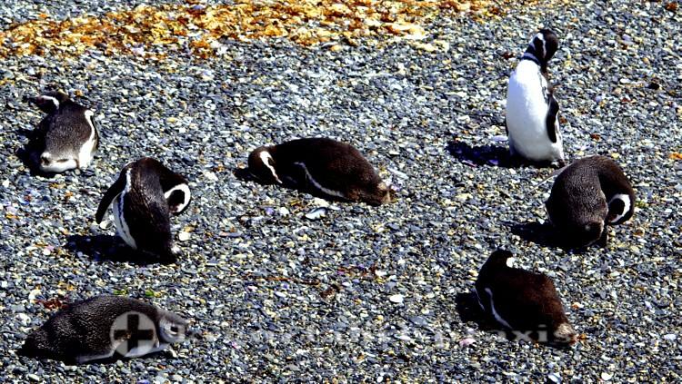 Magellan-Pinguine im Reservat