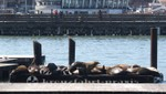 Die Seelöwen von Pier 39