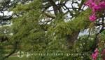 St. Kitts - Romney Manor - Der alte Regenbaum