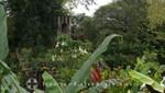 St. Kitts - Wingfield Estate - Parkanlage mit Trompetenbaum