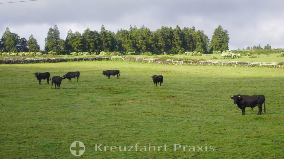 Terceira - bulls in the pasture