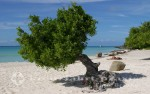 Aruba - Einsamer Strand mit Divi-Divi-Baum