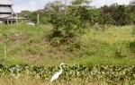Belize - Reiher vor ländlicher Kulisse